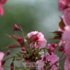 樱花即将绽放