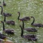 一群黑天鹅