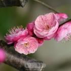 红梅迎春(五)