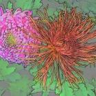 菊花—彩色素描
