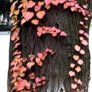 树杆上的红叶...