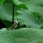 青龙湖的白头翁
