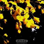 冬天里的银杏...