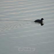野鸭湖中独游...