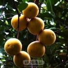 金秋树上柚子黄