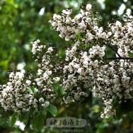 南国红豆树花...