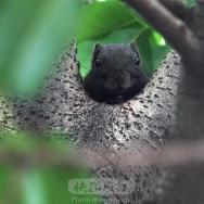 爬在树杈上的小忪鼠