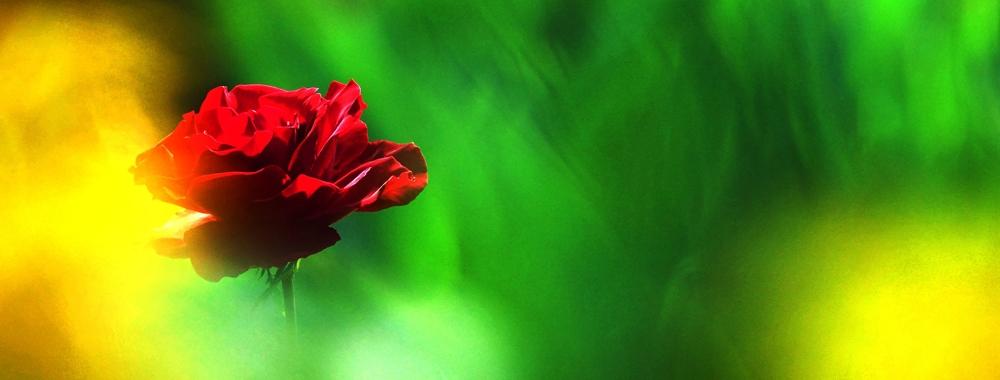 梦幻红玫瑰