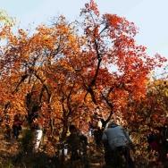 北京香山红叶...