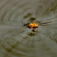 挣扎的小蜜蜂...