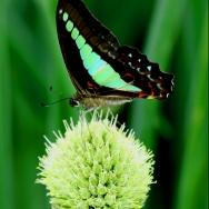 蝴蝶与花球