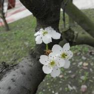 深秋的梨花,...